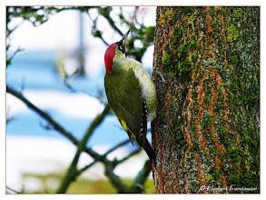 Photo: Grünspecht auf Ginko-Baum   (Grünspecht (Picus viridis)
