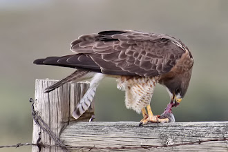 Photo: Swainson's Hawk