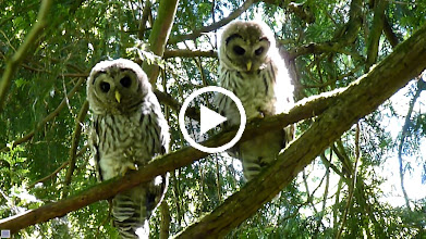 Video: Barred Owlets