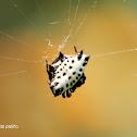 Araña tejedora espinosa - Araña panadera