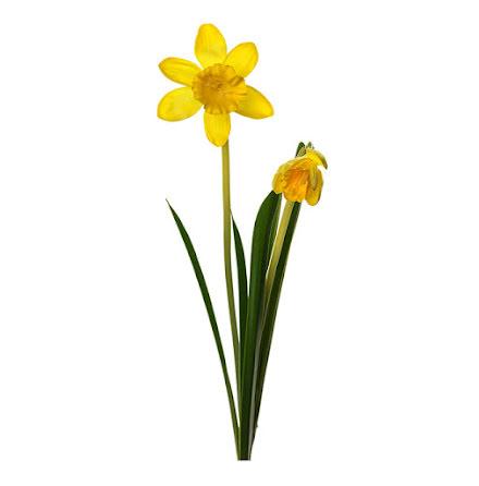 Påsklilja Kvist 50 cm