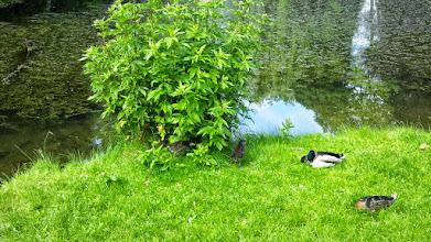 Photo: Entenfamilie am Ufer des Schwanenteichs (welcher derzeit ohne Schwäne auskommen muß).