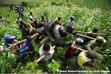 volwassen berggorilla, met lianen vastgebonden op een draagbaar van bamboestokken, wordt vervoerd door 15 dragers