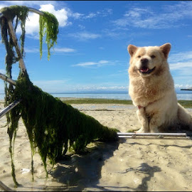 Shiagoui by Dickson   Shia - Animals - Dogs Portraits ( low tide, beach, dog )