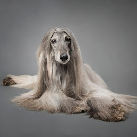 Walter by Jude Stewart - Animals - Dogs Portraits ( judithstewartphotography, afghan hound, east sussex, uckfield, portrait, dog, pet, dog portrait,  )