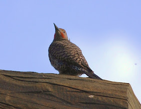 Photo: Red Shafted Flicker