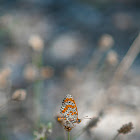 spotted fritillary or red-band fritillary
