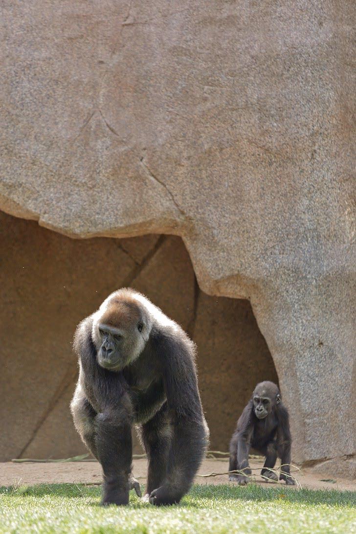 Gorillas San Diego Wild Animal Park.