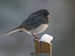 Photo: For #BirdPoker :Cutness Factor curated by +Phil Armishaw  To cover the chubby Dark-eyed Junco played by +Bruce Clement