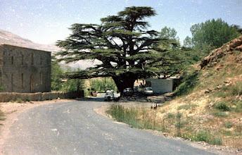 Photo: Old cedar in Lebanon, 8 June 1985