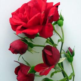 For pleasure by Helena Moravusova - Flowers Flower Arangements ( flowers, roses )