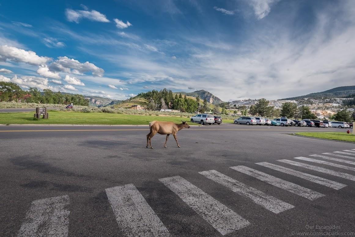 An elk just walking by