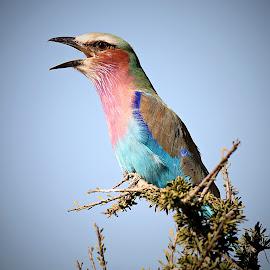Roller Call by Pieter J de Villiers - Animals Birds