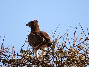 Photo: African snake eagle (I think)