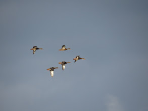 Photo: 24 Jun 13 Priorslee Flash: The duck Mallard leads 4 of her off-spring on a formation fly-by (the other 6 were also in the air) (Ed Wilson)