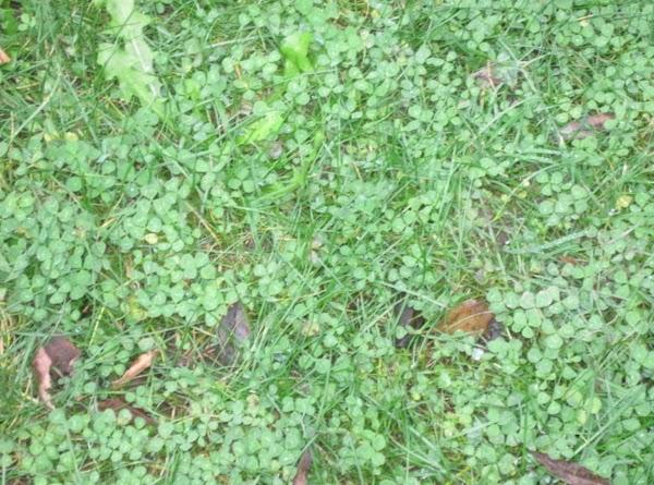 Irish clover near Ross Castle