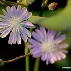 Chicori