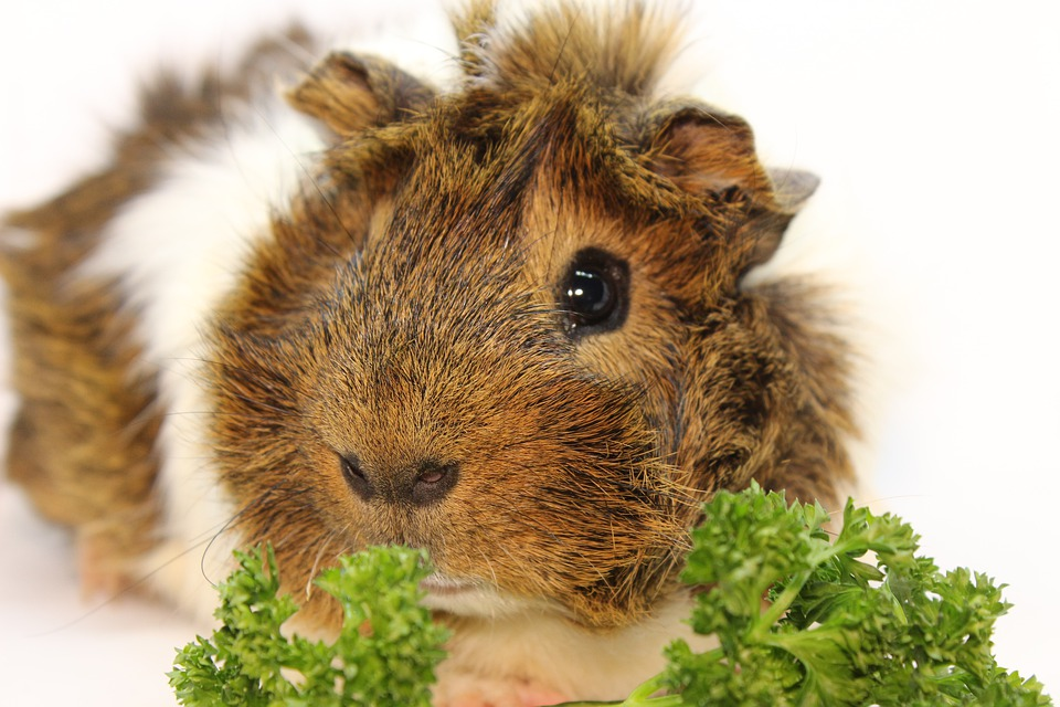 vitamin c and your guinea pig