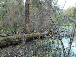 Photo: Кто не верит, для сравнения: здесь под бревном никого нет. Куница ушла в лес, она тоже не очень любила сниматься