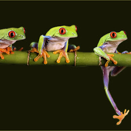 Frog Trio by Sam Sampson - Animals Amphibians ( bamboo, red eyes, green, three, frogs )