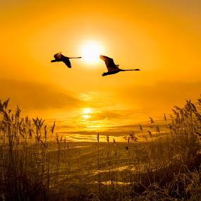 Flight of the Swans by Adrian Campfield - Landscapes Sunsets & Sunrises ( plants, wildlife, reflections, yellow, birds, flying, sky, nature, wings, dark, weather, wet, gold, light, black, clouds, water, white, rivers, shadows, flight, dawn, red, mute swans, fog, silhouettes, sunrise, reeds, golden, mist,  )