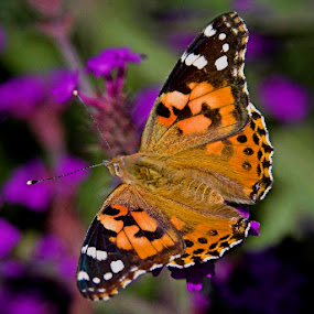 Painted Lady by Pete Bobb - Animals Insects & Spiders ( orange, flight, painted lady, butterfly, mimic,  )