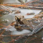 White-lipped leopard frog