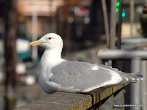 Photo: Glaucous-winged Gull, La Conner, Washington