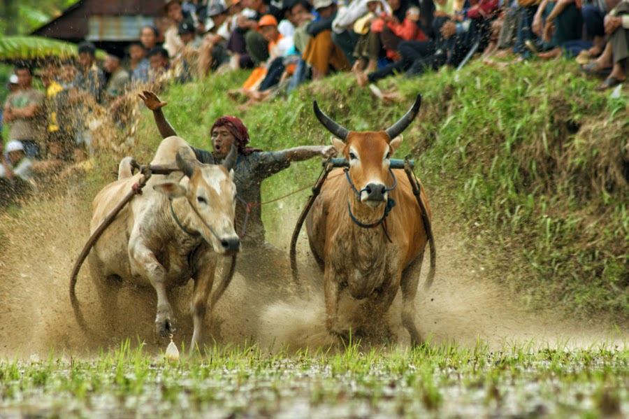 pacu jawi by Don Borland - News & Events Sports ( doni aries, don borland, pacu jawi )