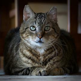by Marie Schmidt - Animals - Cats Portraits (  )