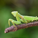 Giant Asian Mantis ( F )