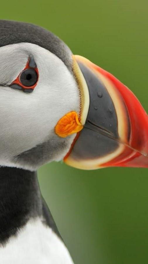 تطبيق خلفيات رائع جدا عن طائر نادر و جميل يسمى ببغاء الغطاس