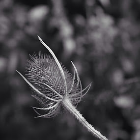 Thistle by Stuart Lomas - Nature Up Close Other Natural Objects