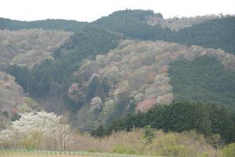 Photo: 飛行場の周りの山もあちこちで桜が咲いています。