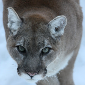 mountain lion by Francois Larocque - Animals Lions, Tigers & Big Cats ( cougar, snow, mountain lion, hungry, eyes,  )
