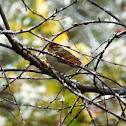 Chipping Sparrow - winter plumage