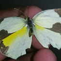 Mexican yellow ♂