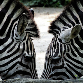 zebras by Alizza Mistades - Animals Other Mammals ( pwcotherworldly-dq )