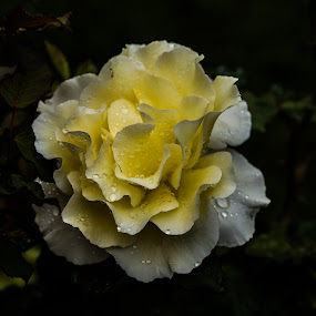 Wet Yellow Rose  by Mike Hayter - Flowers Single Flower ( rose, petals, white, yellow, english rose, droplets )