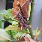 Tobacco Cutworm Moth