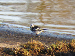 Photo: Priorslee Lake Usually seen or heard flying over (but scarce at the moment): a male Pied Wagtail pays a visit to the lake. A rather scruffy bird perhaps acquiring breeding plumage. (Ed Wilson)