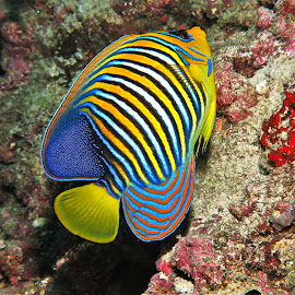 by Phil Bear - Animals Fish ( reef, angelfish, coral, fish, coral reef, maldives )