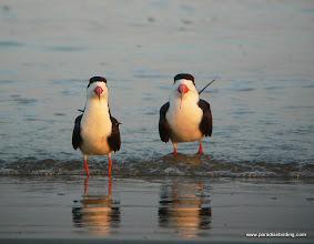 Photo: Black Skimmers, Quintana Beach, upper Texas Coast