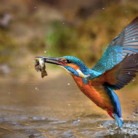 The capture by Roberto Melotti - Animals Birds ( roberto melotti, fish, catch, nikon d810, eurasian kingfisher, prey, common kingfisher, martin pescatore europeo, bird, martin pescatore comune, alcedo atthis, kingfisher, capture )