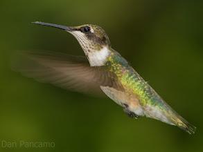 Photo: Ruby-throated Hummingbird