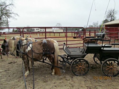 Koalah & Bit hitched to Kutzman marathon carriage