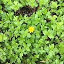 Singapore daisy