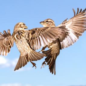 A Right Pair by Trevor Bond - Animals Birds ( bird, nz, sparrow )