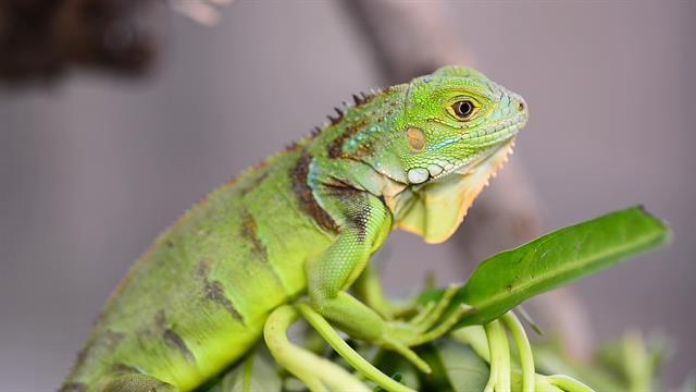 Image result for green iguanas appearance