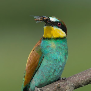 D:\01 GALERIJA FOTO\01 ptice\Čebelar - Rumenogrli čebelar - Merops apiaster\pixoto 2015\Merops-apiaster-314.jpg